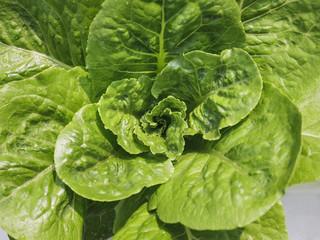 Vegetable farm,organic green natural Hydroponic