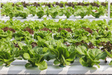Vegetable farm,organic green natural Hydroponic