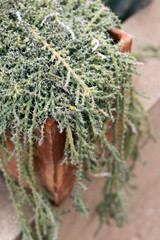 Euphorbia Dichroa