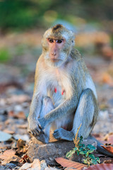 Monkey (Crab-eating macaque) sitting on the stone in Thailand
