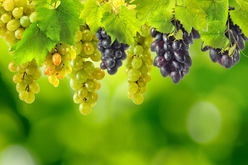 image of grapes on blurred green background