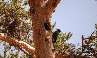 Woodpecker feeding young.