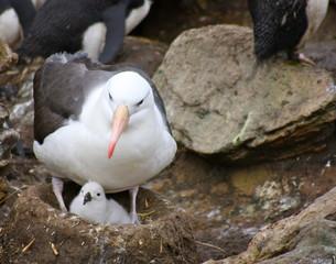 Albatros à sourcils noirs et son petit