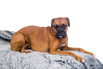 boxer dog on a fur blanket