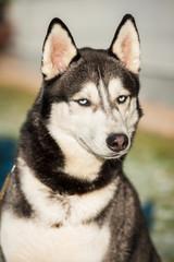 Portrait of siberian husky dog with blue eyes