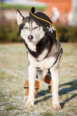 Siberian husky dressed as a pirate
