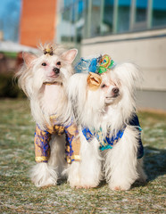 Two chinese crested dogs dressed in a carnival costumes