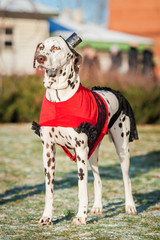 Dalmatian dog dressed in a dress and hat