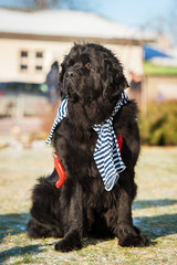 Newfoundland dog dressed as a sailor