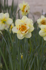 Jonquille Narcisse fleur printemps