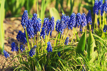 Muscari neglectum