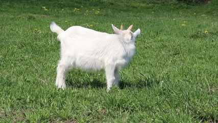 Young baby goat on a meadow