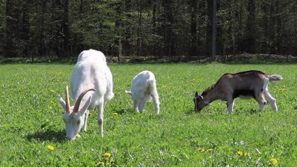 Two little goats with their mother on a meadow