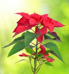 Poinsettia plant for Christmas