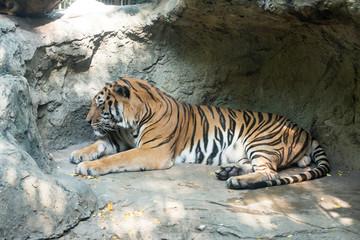 Close up a Bengal Tiger