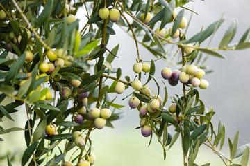 Aceitunas en el olivar