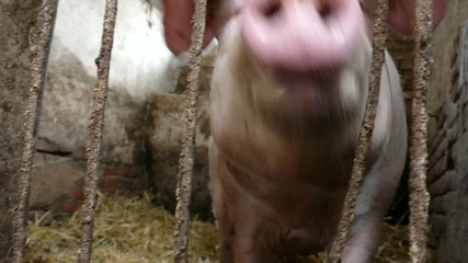 Pig behind bars in a dingy pigpen eats and makes sounds