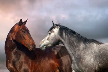 Beautiful black and grey colour horse couple in love.