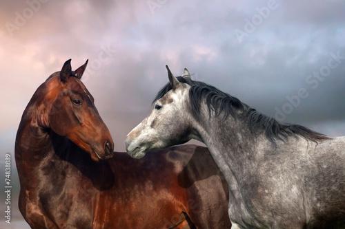 Fototapeta Beautiful black and grey colour horse couple in love.