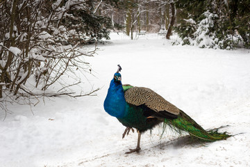 beautiful peacock in a winter park