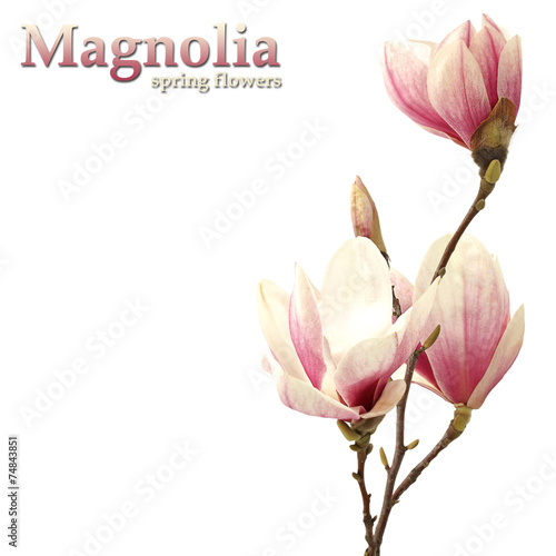 magnolia - 74843851