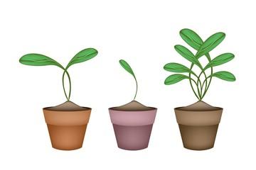 Brussels Prouts Plants in Ceramic Flower Pots