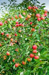 Apple trees Falstaff - orchard