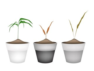Three Green Grass in Ceramic Flower Pots
