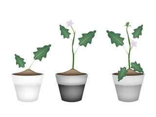 Green Eggplant Tree in Ceramic Flower Pots