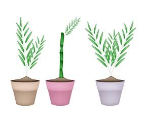 Three Bamboo Tree in Ceramic Flower Pots