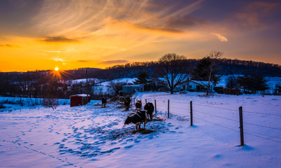 Sunset over cows in a  snow-covered farm field in Carroll County