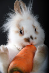 fluffy rabbit with carrot on a black background