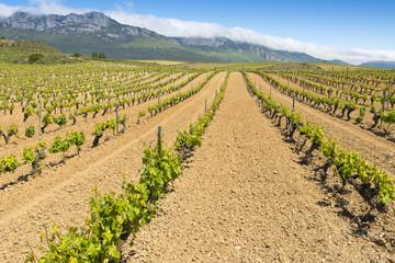 Vineyard at Rioja Alavesa, Basque Country (Spain)