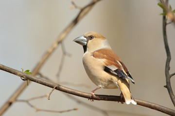 Female Hawfinch (Coccothraustes coccothrautes) on a twig