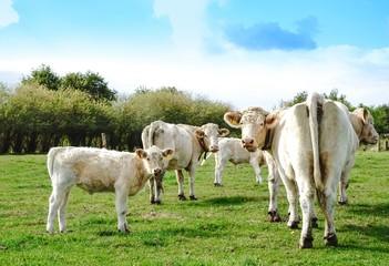 Mutterkuhhaltung, - kleine Herde Charoais Kühe mit Kälber