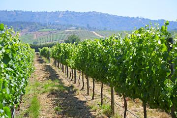 Casablanca valley vineyard, Chile