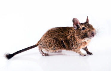 Young degu isolated on white