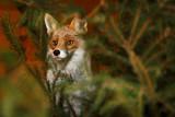 Fuchs versteckt