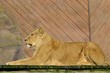 Large lion lying down