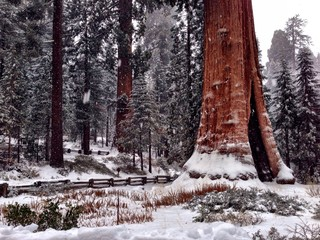 Sequoia national park during winter time