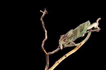 Young chameleon clinging to branches