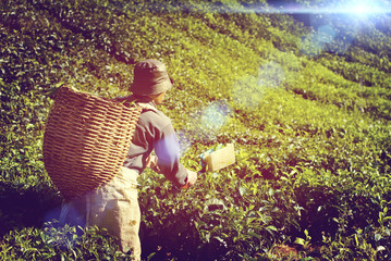 Manual Worker Picking Tea Plantation Harvesting Industry Job