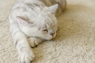 うたた寝する白猫