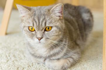 キリッと見つめる家猫
