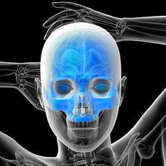 3d render medical illustration of the human skull