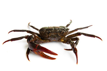 living freshwater crab on a white background