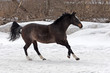 Skipping gray horse in winter farm