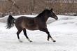 Skipping gray horse in winter farm
