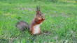 Squirrel eats sunflower seeds on the ground. Then he runs away