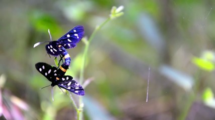 Tiger grass borer butterfly mating